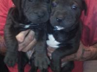 I have 2 female pit bull puppy's ready for there new