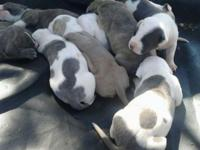 Pitbull pups fore sale 5boys 4girls kerrville tx 60