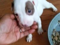 American Staffordshire pitbull puppies. Call or text