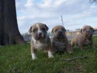 I have 2 female Adba registered pitbull puppies
