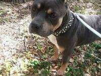 2 year old un-altered male pitbull.. chocolate Tri