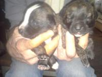 9 gorgeous pups for sale. They would b an excellent