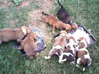 Extremely cute puppies, Should be med. When grown, size