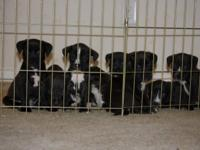 Description Black and White PitBull Puppies that need a