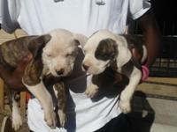 2month old pit puppies need new forever homes parents