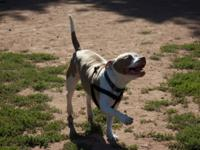 Brutus is a great loving companion for the right home.