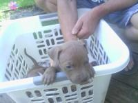 Beautiful pitbull pups..only 4 left two males (fawn)