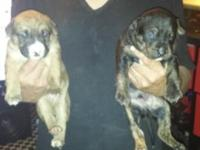 I have 7 pups 300 each they 5 weeks old looking for