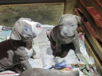 ADBA registered puppies only 3 males left they going