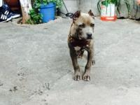 Blunose pitbulls for sale This ad was posted with the