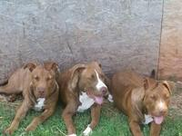 I have two male red nose pitbulls puppies they will be