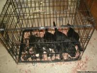 PUPPIES LOOKING FOR LOOKING HOME.   THEY ARE