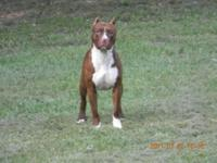 RED NOSE PITT BULL PUPPIES FOR SALE BORN OCT 11 2014