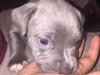 Bluenose pitbull grey and silver females call or txt