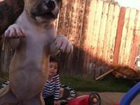Really nice looking pittbull puppies, awesome markings,