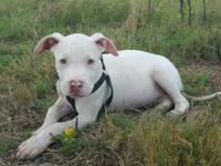 I have a Red nose Pittbull puppy. 4 months old he
