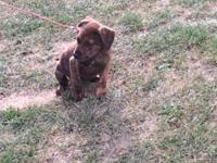Have a 7 week old pitt puppy for sale. Male, not