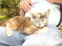 I have 3 adorable pixie bob cross kittens 2 calico