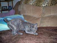 Pixie - Bob - Pixie - Medium - Baby - Female - Cat IF