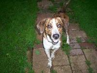 PJ's story Pj is a 2 yr. old, 33 lb. 17 inch, Coonhound