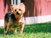 PJ & Sassy's story Where are all the senior yorkie