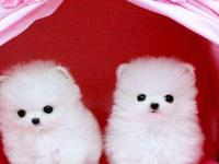 Platinum Quality White Micro Teacup Pom Puppies.