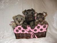 We have AKC toy ,teacup & miniature size schnauzers in