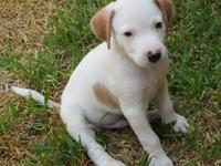Dusty is a 9 week old male American Bulldog mix. He