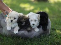 Adorable sweet-natured puppies. We have 2 males and 2
