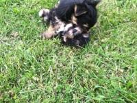 What sweeties!! My son's Yorkie had two MALE puppies!!