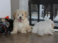 Playful Bichon Frise 1 Male Brown 1 Female White the