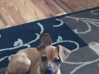 Axle is a sweet, playful Chihuahua mix. He is 6