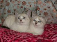 Both parents were a Snowshoe Siamese. Shots and worming