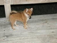 I have two male Purebred Pomeranian puppies available