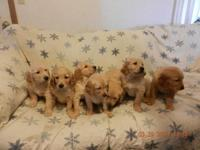 AKC signed up Golden Retriever young puppies. Please