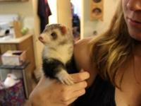 1 Male fixed, unscented and vaccinated ferret. His name