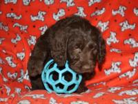 Maisy is a 7 week old brown labradoodle. Raised in the
