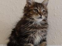 Playful!Maine Coon Kittens For Sale.For more details
