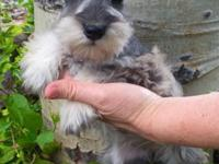 9 weeks old salt and pepper male Miniature Schnauzer