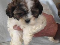 Our litter of Shih-Poo puppies will be ready for their