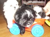 3 sweet little Shih Tzu Puppies. CKC reg., 8 wks old. 1