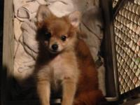 I have two male Pomeranian puppies available They were