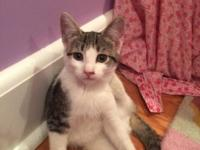 Chloe is a lively and sweet tabby gray and white
