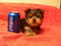 I am a Tiny Little Girl Yorkie, I have had my first