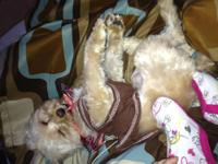 Cruz is a energetic playful young yorkie/bichon mix!