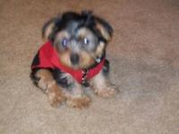 Adorable yorkie puppy in search of a loving home. Mylo