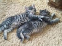 Male and female kittens 8 weeks old are needing homes.