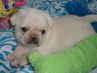 This is Green collar, he is an AKC white purebred pug