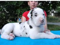 AKC Great Dane puppies! Harlequin, Mantel, & Merls.