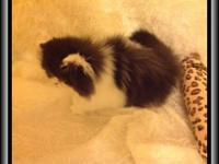 I Have Persian Kittens Availablle. My Kittens come from